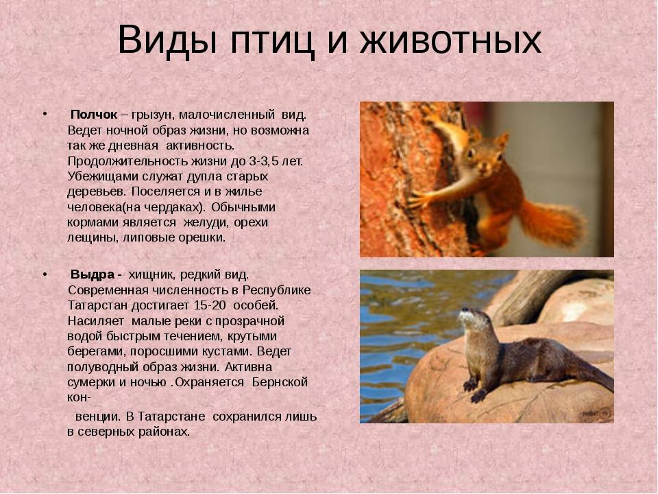 Виды птиц и животных Полчок – грызун, малочисленный вид. Ведет ночной образ ж...
