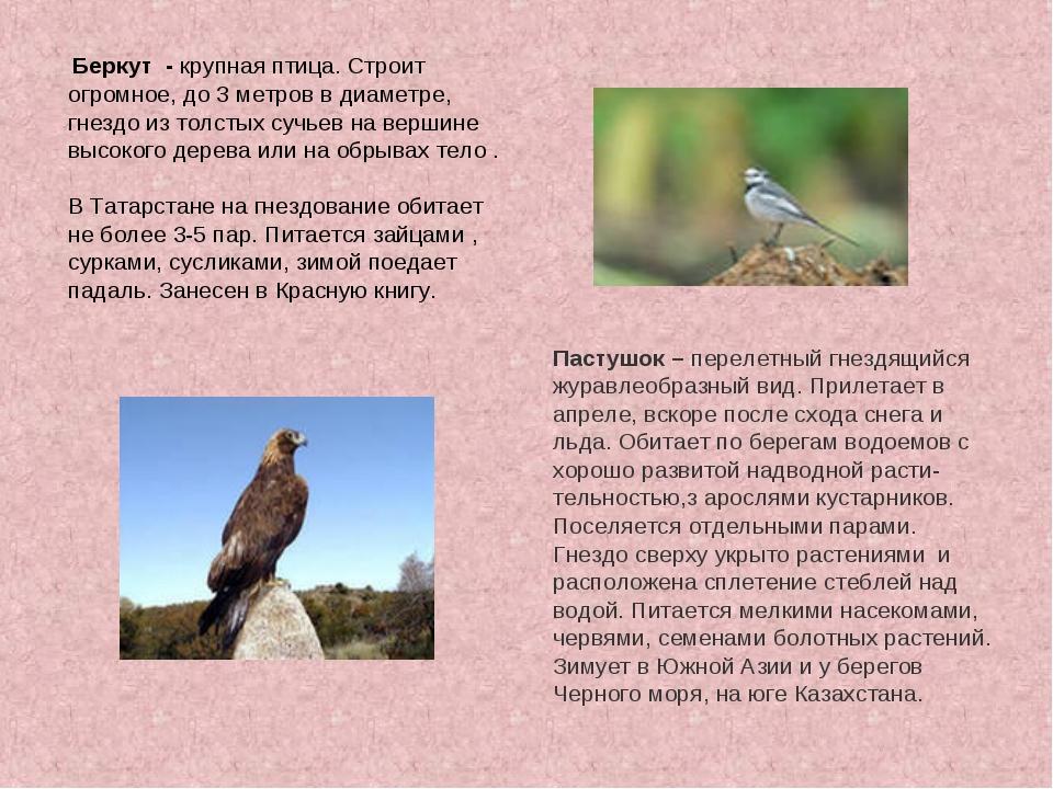 Беркут - крупная птица. Строит огромное, до 3 метров в диаметре, гнездо из т...