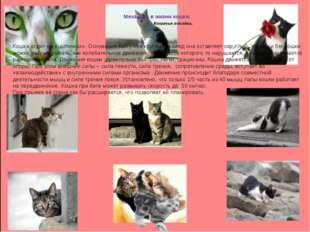 Механика в жизни кошки. Кошачья походка. Кошка ходит на «цыпочках». Основани