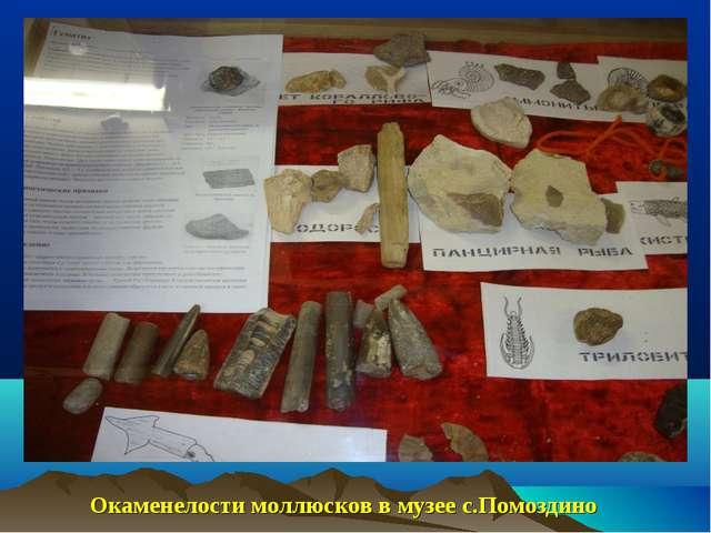 Тиман-3\08800.jpg Окаменелости моллюсков в музее с.Помоздино