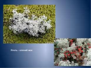 Ягель - олений мох