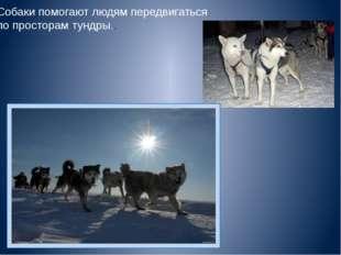 Собаки помогают людям передвигаться по просторам тундры..