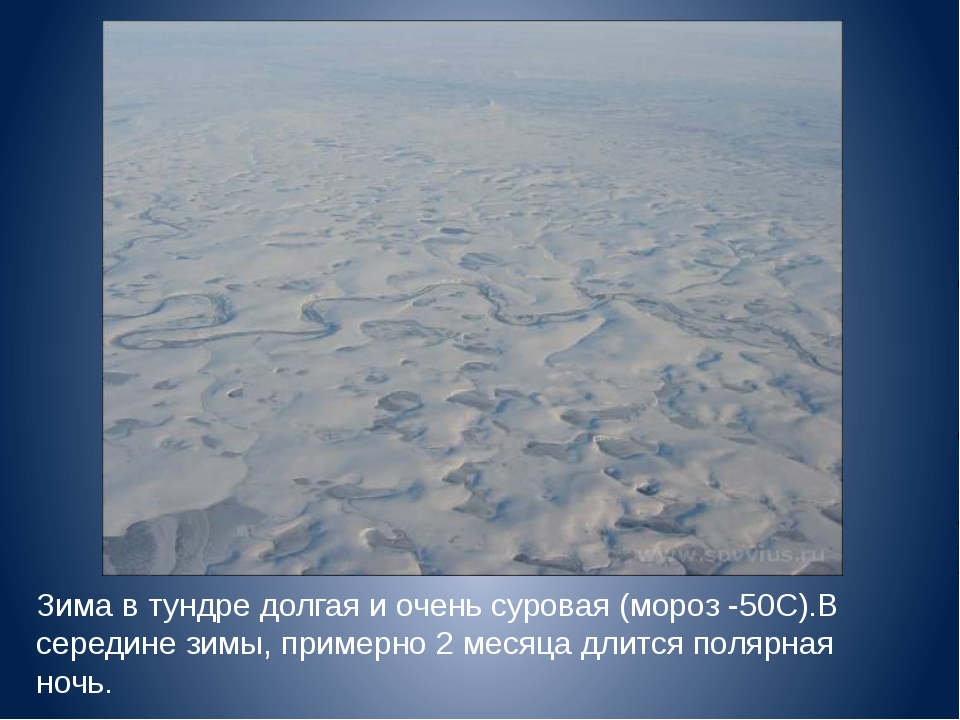 Зима в тундре долгая и очень суровая (мороз -50С).В середине зимы, примерно 2...