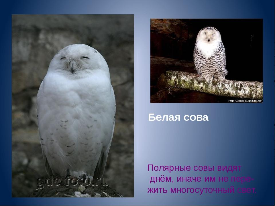 Белая сова Полярные совы видят днём, иначе им не пере- жить многосуточный свет.