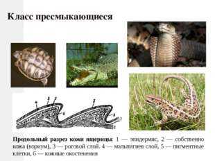 Продольный разрез кожи ящерицы: 1 — эпидермис, 2 — собственно кожа (кориум),