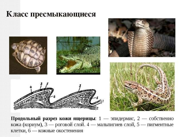 Продольный разрез кожи ящерицы: 1 — эпидермис, 2 — собственно кожа (кориум),...