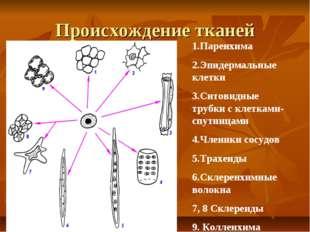 Происхождение тканей Паренхима Эпидермальные клетки Ситовидные трубки с клетк
