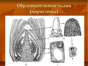 Образовательные ткани (меристемы)