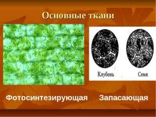 Основные ткани Фотосинтезирующая Запасающая
