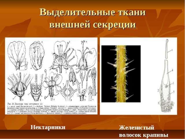 Выделительные ткани внешней секреции Нектарники Железистый волосок крапивы
