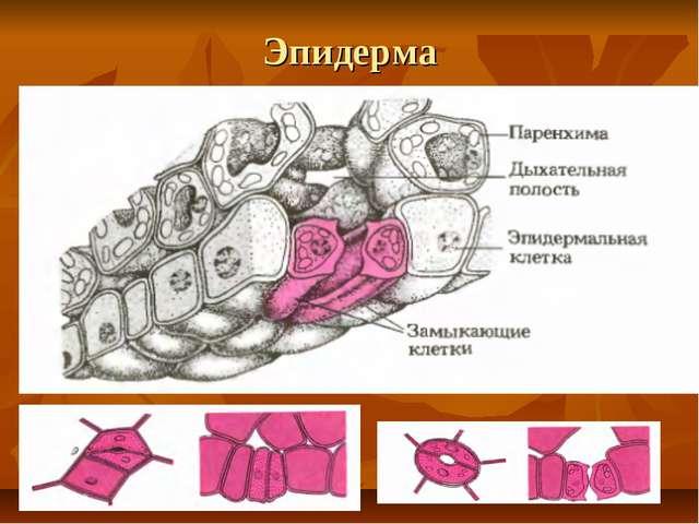 Эпидерма