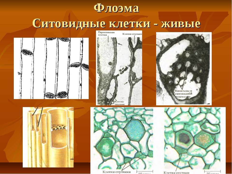 Флоэма Ситовидные клетки - живые