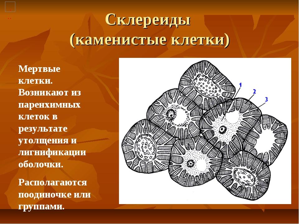 Склереиды (каменистые клетки) Мертвые клетки. Возникают из паренхимных клеток...