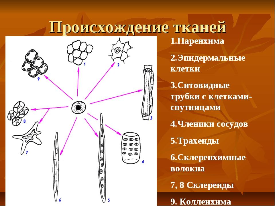 Происхождение тканей Паренхима Эпидермальные клетки Ситовидные трубки с клетк...