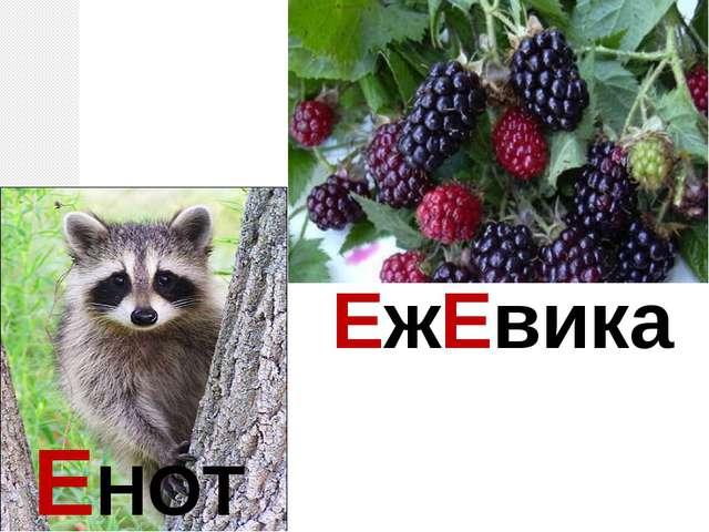 ЕНОТ ЕжЕвика