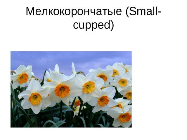 Мелкокорончатые (Small-cupped)