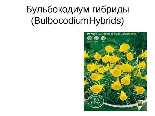 Бульбокодиум гибриды (BulbocodiumHybrids)