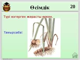 Өсімдік 20 Тамырсабақ Түрі өзгерген жерасты өркен.