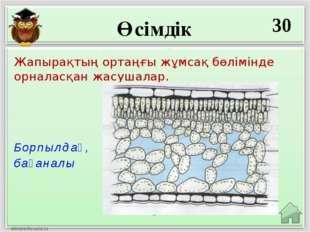 Өсімдік 30 Борпылдақ, бағаналы Жапырақтың ортаңғы жұмсақ бөлімінде орналасқан