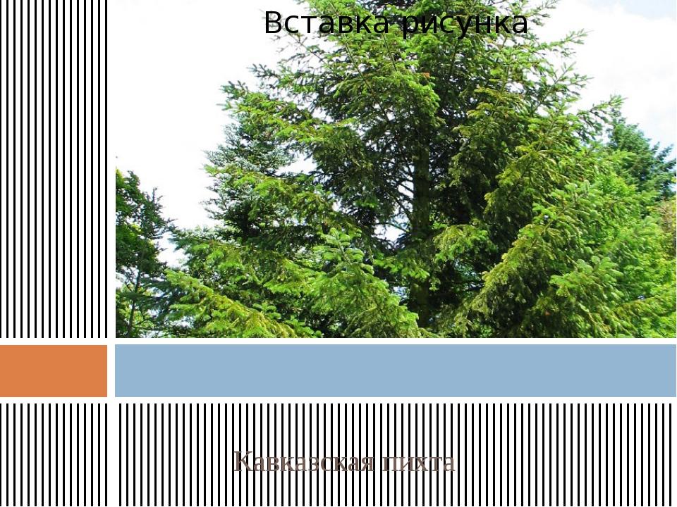 Кавказская пихта