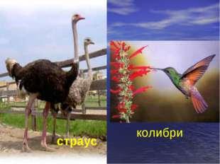 страус колибри