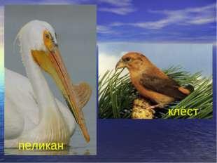 пеликан клёст