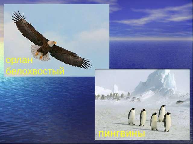 пингвины орлан белохвостый