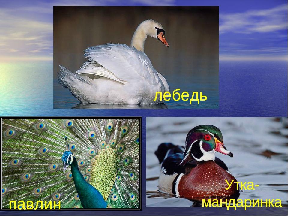 лебедь павлин Утка-мандаринка