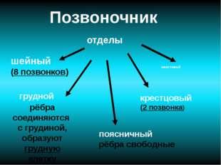 Позвоночник отделы хвостовой шейный (8 позвонков) крестцовый (2 позвонка) поя