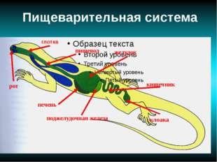Пищеварительная система поджелудочная железа печень рот кишечник желудок кло