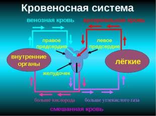 Кровеносная система лёгкие внутренние органы желудочек правое предсердие лево