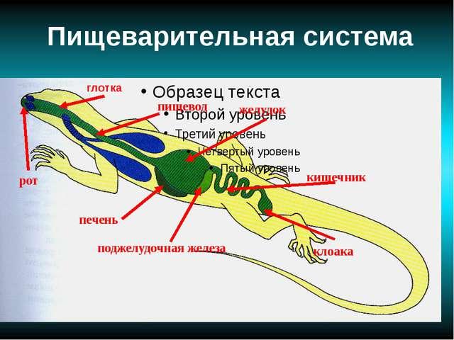 Пищеварительная система поджелудочная железа печень рот кишечник желудок кло...