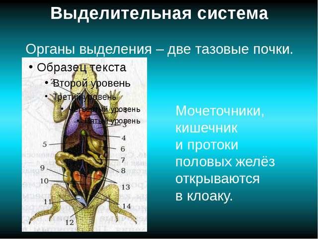 Выделительная система Органы выделения – две тазовые почки. Мочеточники, кише...