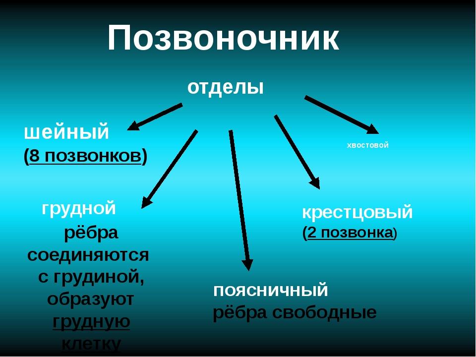 Позвоночник отделы хвостовой шейный (8 позвонков) крестцовый (2 позвонка) поя...
