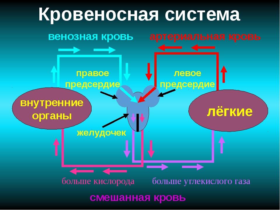 Кровеносная система лёгкие внутренние органы желудочек правое предсердие лево...