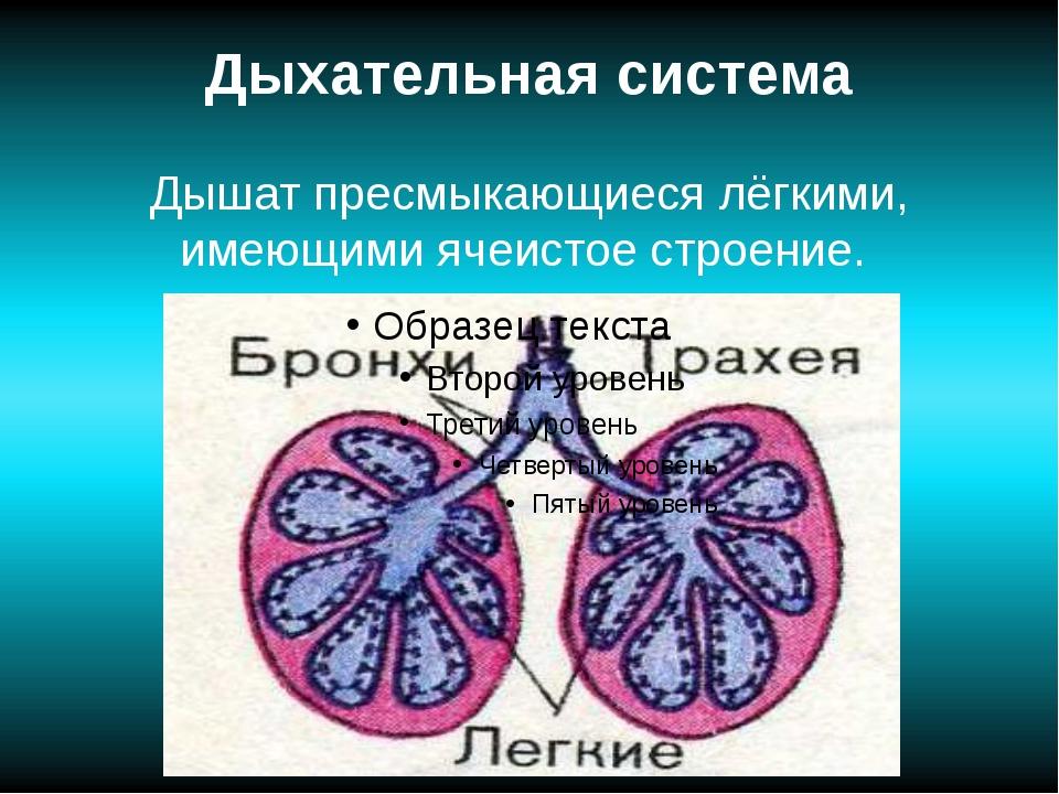 Дыхательная система Дышат пресмыкающиеся лёгкими, имеющими ячеистое строение.