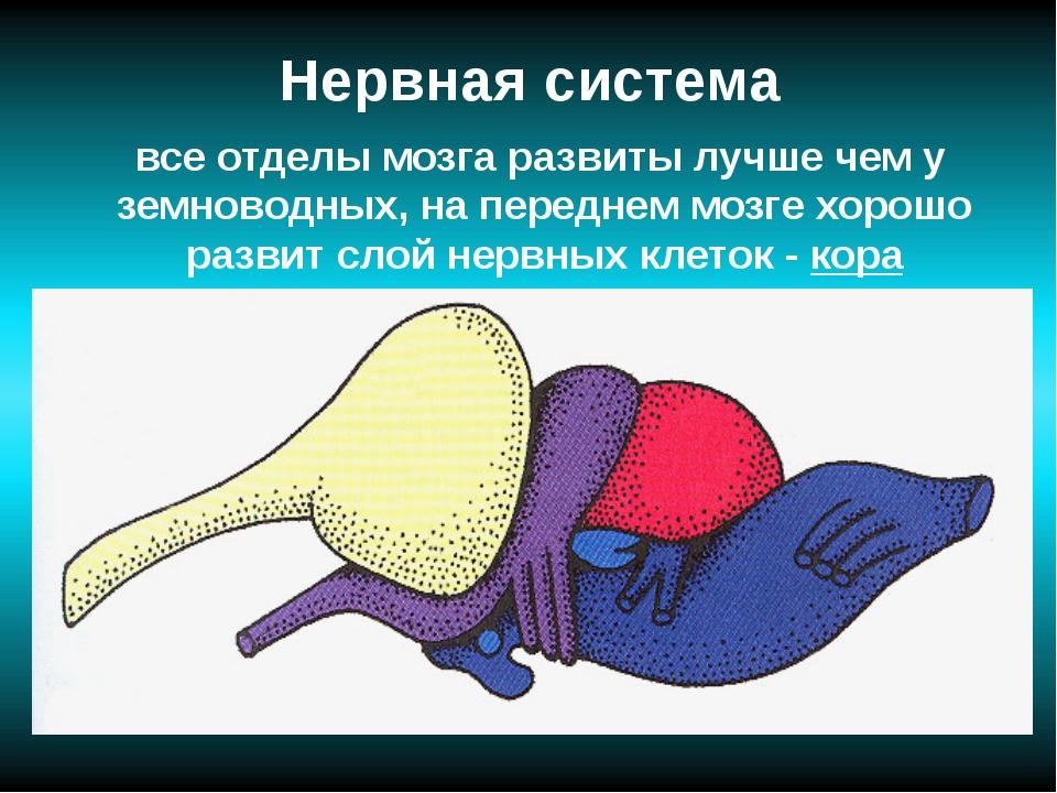Нервная система все отделы мозга развиты лучше чем у земноводных, на переднем...
