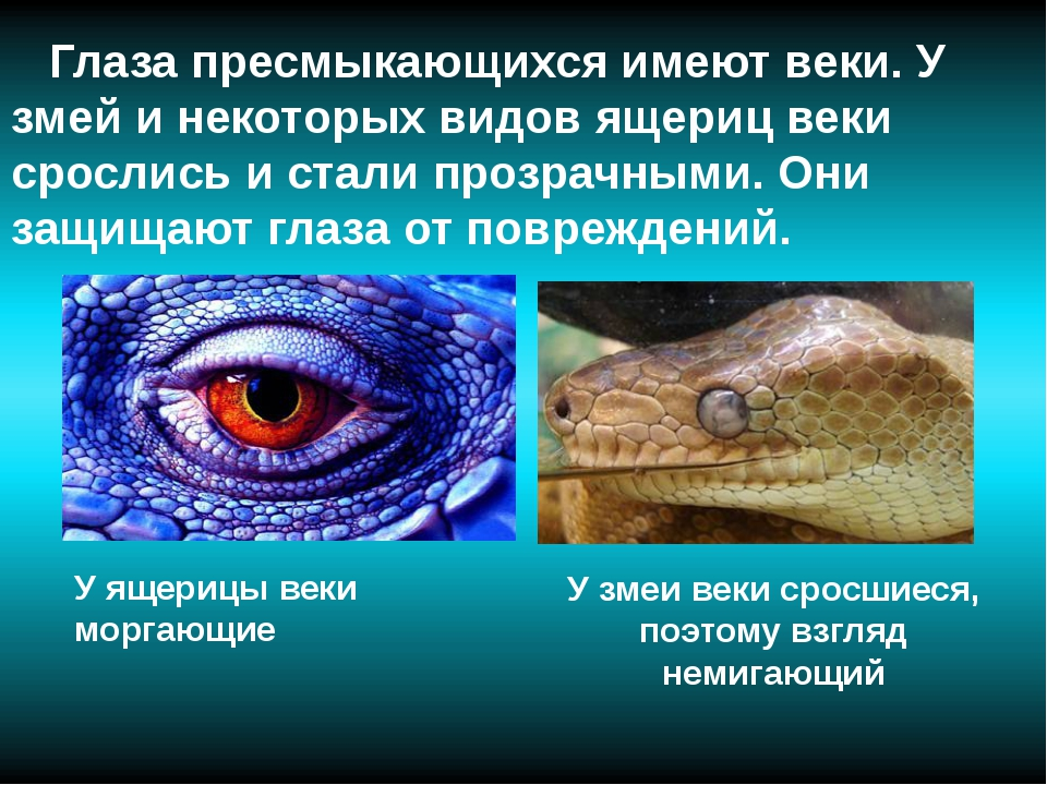 Глаза пресмыкающихся имеют веки. У змей и некоторых видов ящериц веки сросли...