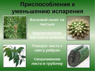 Приспособления к уменьшению испарения Восковой налет на листьях Видоизменени