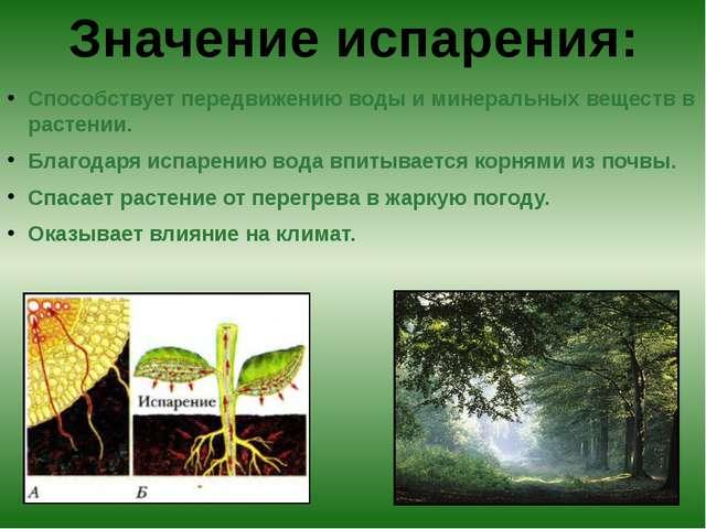 Способствует передвижению воды и минеральных веществ в растении. Благодаря и...