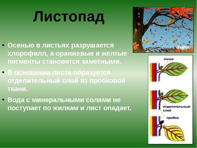 Осенью в листьях разрушается хлорофилл, а оранжевые и желтые пигменты станов...