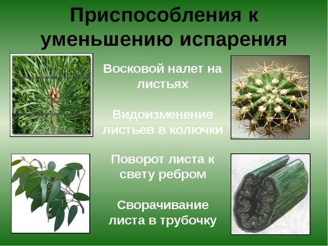 Приспособления к уменьшению испарения Восковой налет на листьях Видоизменени...