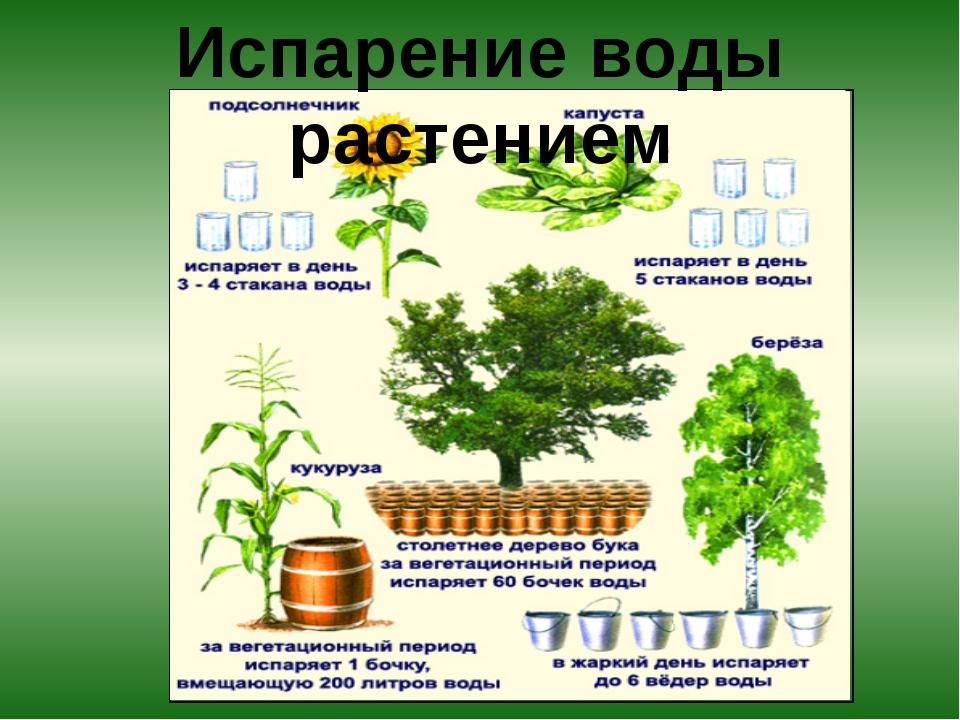 Испарение воды растением