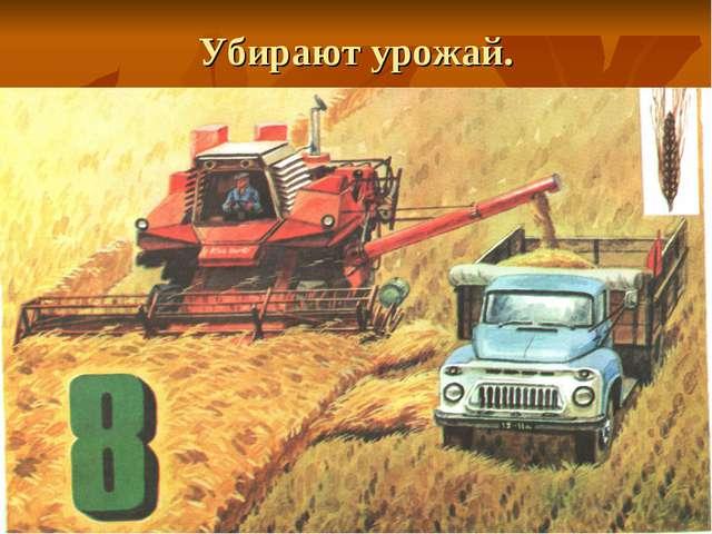 Убирают урожай.