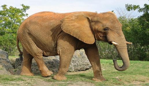 саванновый африканский слон