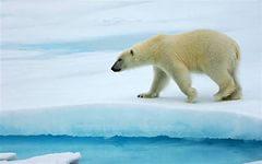 Животные - Звери - Красивый Белый медведь - обои для рабочего стола - Wallpaper Finder