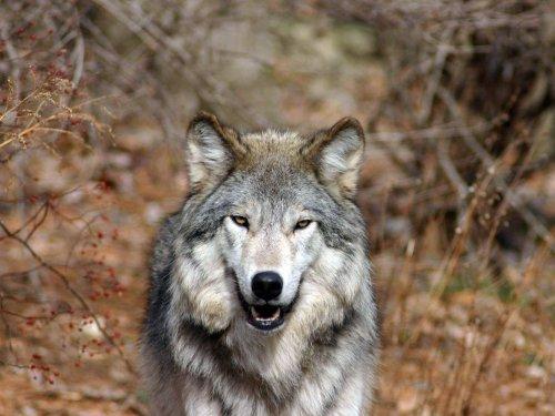 Обои на рабочий стол, Волки, wolf wallpapers 1, волк, Волки, волчата, обои волки, basik.ru