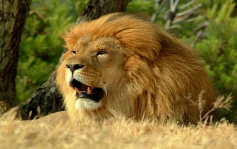 Обои - Рык льва, обои лев рычит, красивые картинки, фото, заставки и обои на рабочий стол