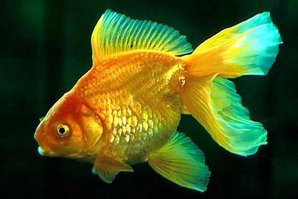 Золотая рыбка по-гавайски: рыба, пойманная гавайцем, выкашляла золотые часы - Таксидермия