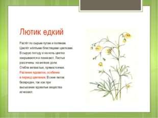 Лютик едкий Растёт по сырым лугам и полянам. Цветёт жёлтыми блестящими цветка
